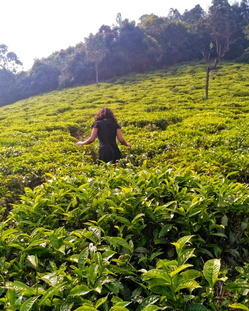 People in nature,Plantation,Vegetation,Tea plant,Crop,Plant,Assam tea,Field,Hill station,Wilderness