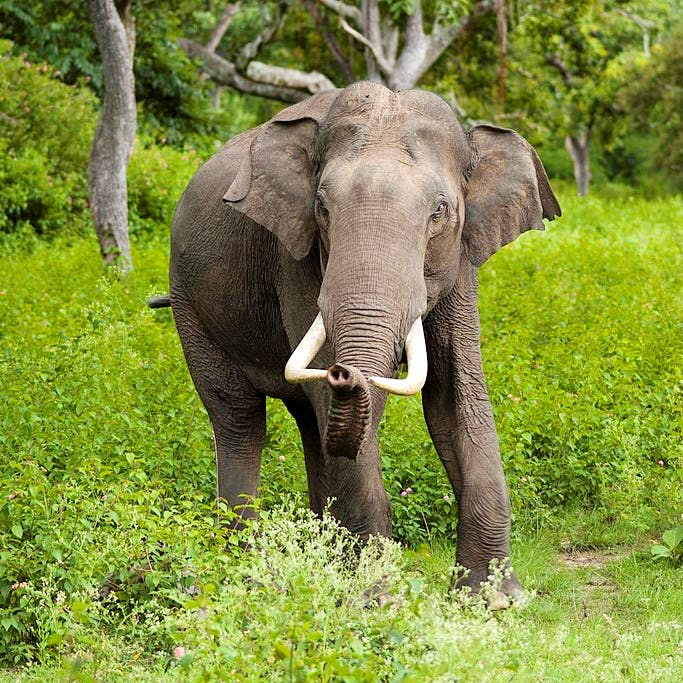 Elephant,Elephants and Mammoths,Terrestrial animal,Mammal,Indian elephant,Wildlife,Vertebrate,African elephant,Nature reserve,Natural landscape