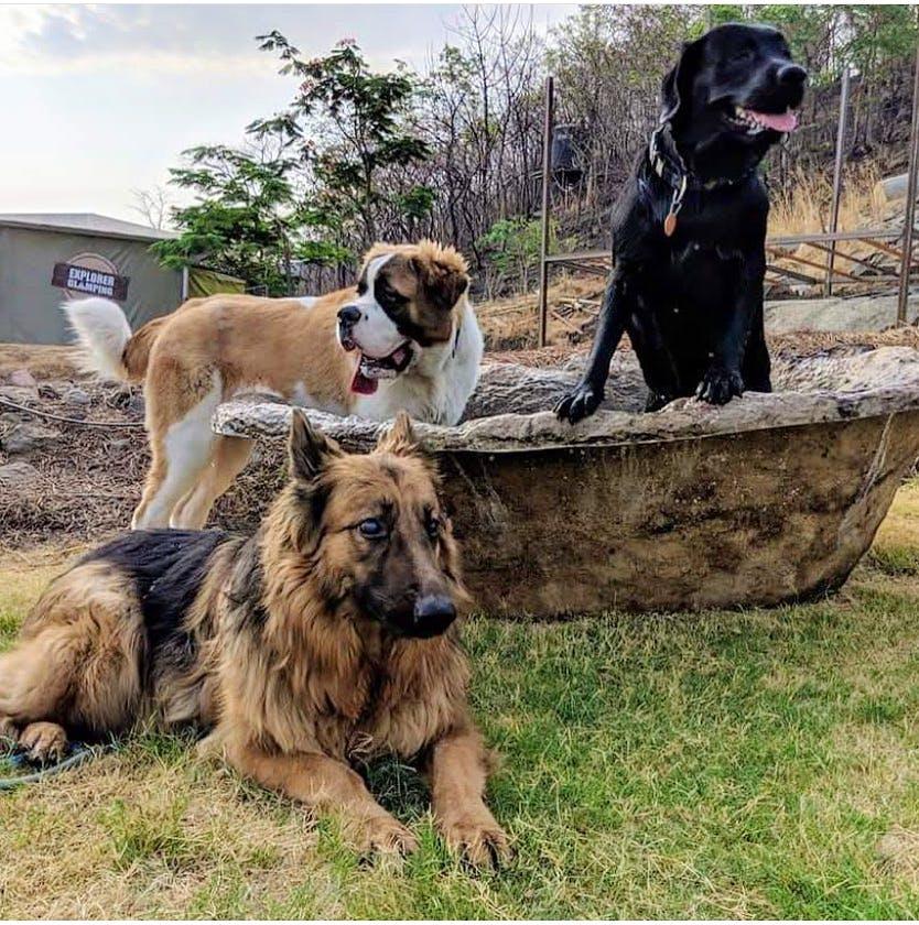 Dog,Mammal,Vertebrate,Canidae,Dog breed,Carnivore,Sporting Group,Giant dog breed,Leonberger,Boerboel