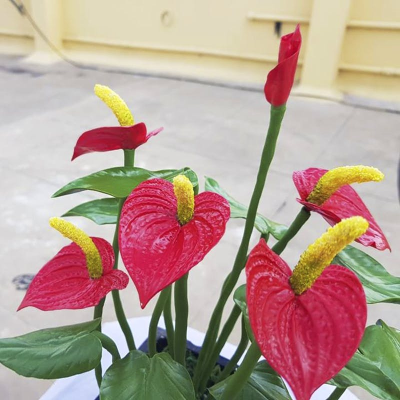 Flower,Anthurium,Plant,Pink,Petal,Houseplant,Flowering plant,Botany,Plant stem,Leaf