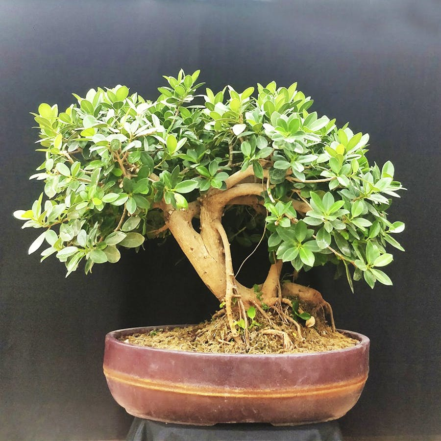 image - Tree Craft Bonsai