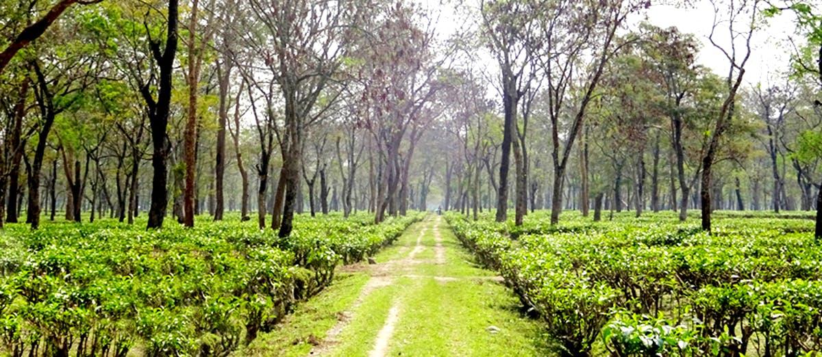 image - Menoka Tea Estate
