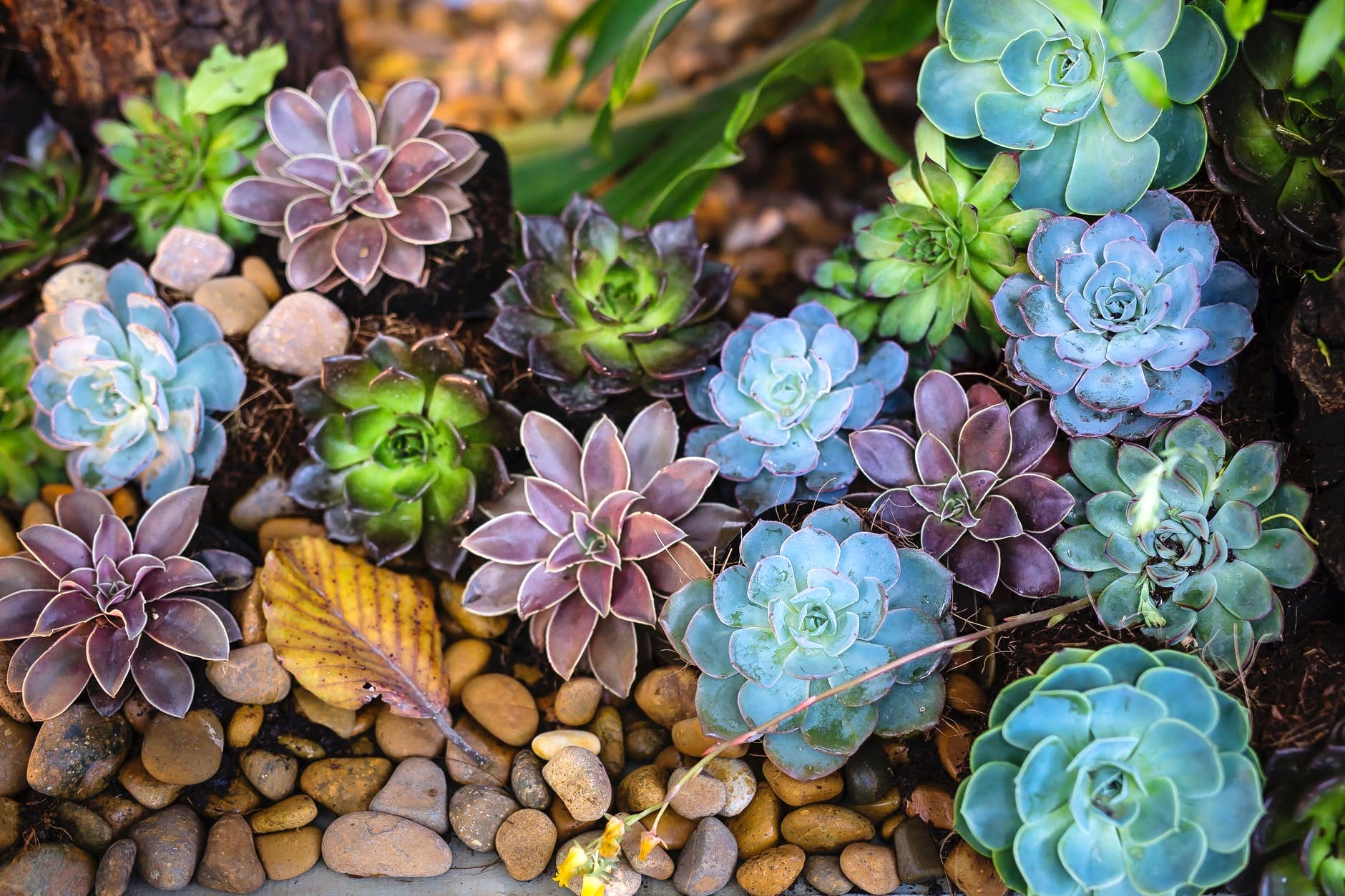 Flower,Blue,Plant,Echeveria,Leaf,Botany,Stonecrop family,Groundcover,Spring,Wildflower