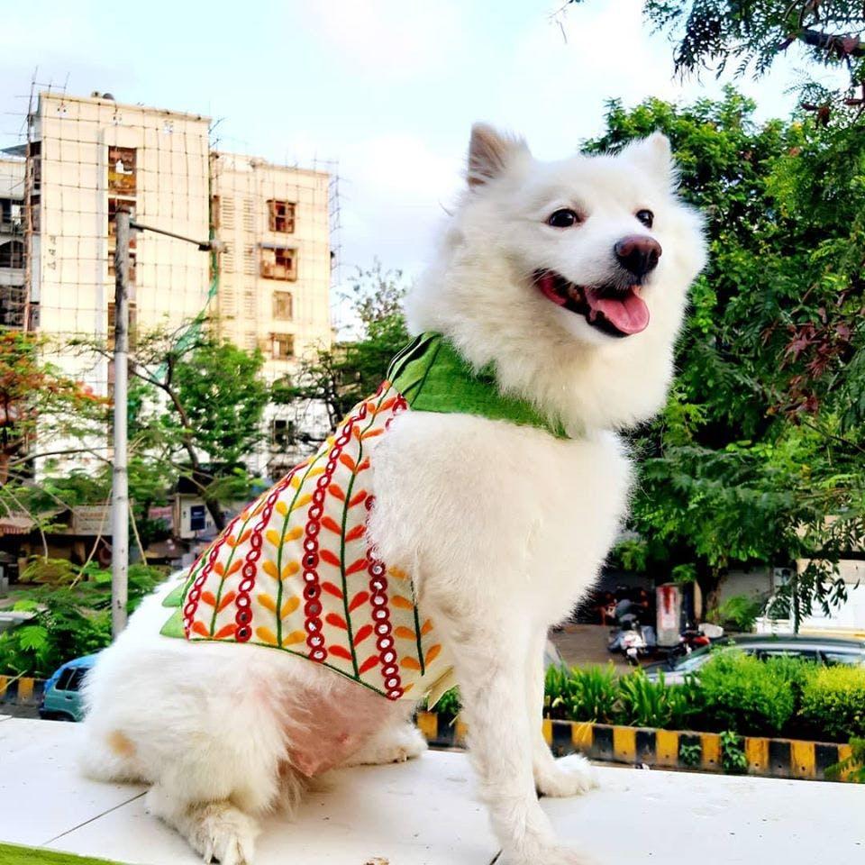 Dog,Mammal,Vertebrate,Canidae,Dog breed,Samoyed,Volpino italiano,Carnivore,Japanese spitz,Companion dog