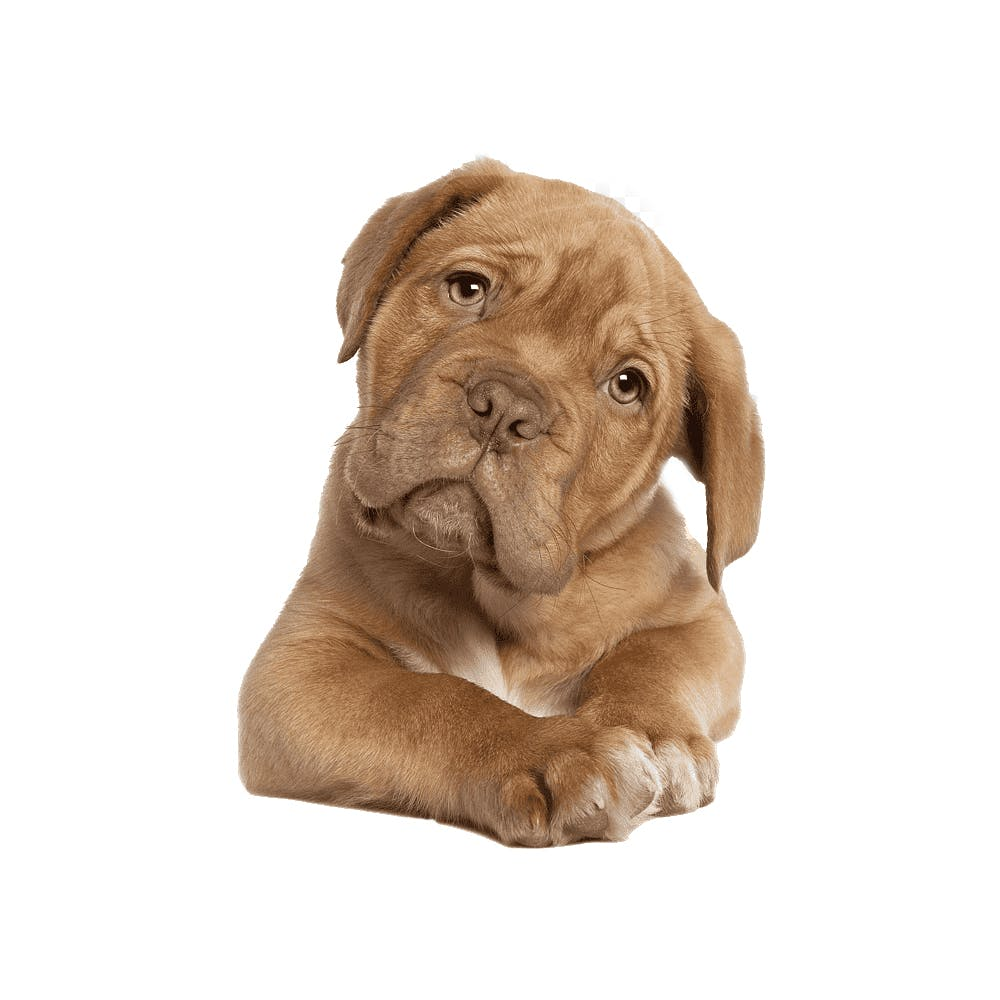 Dog,Mammal,Vertebrate,Canidae,Dogue de bordeaux,Dog breed,Carnivore,Puppy,Sporting Group,Working dog