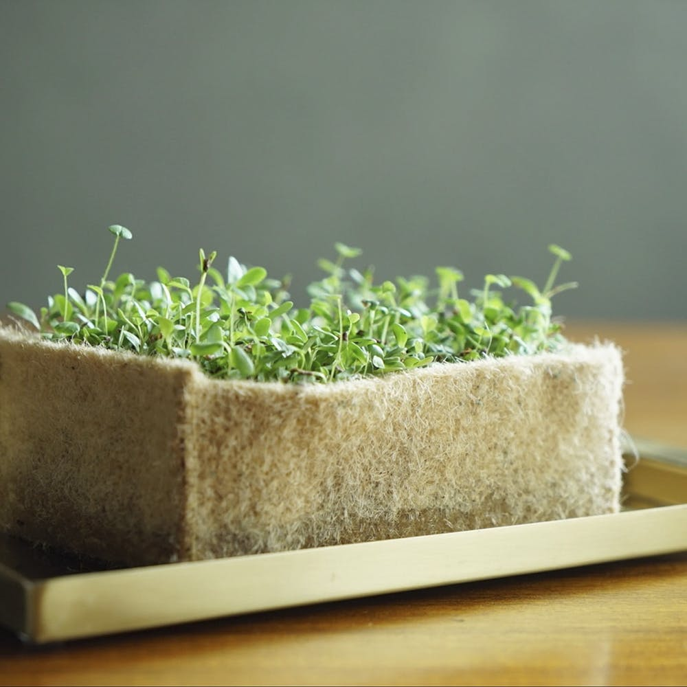 Alfalfa sprouts,Garden cress,Sprouting,Flowerpot,Plant,Grass,Grass family,Herb,Bean sprouts,Vegetarian food