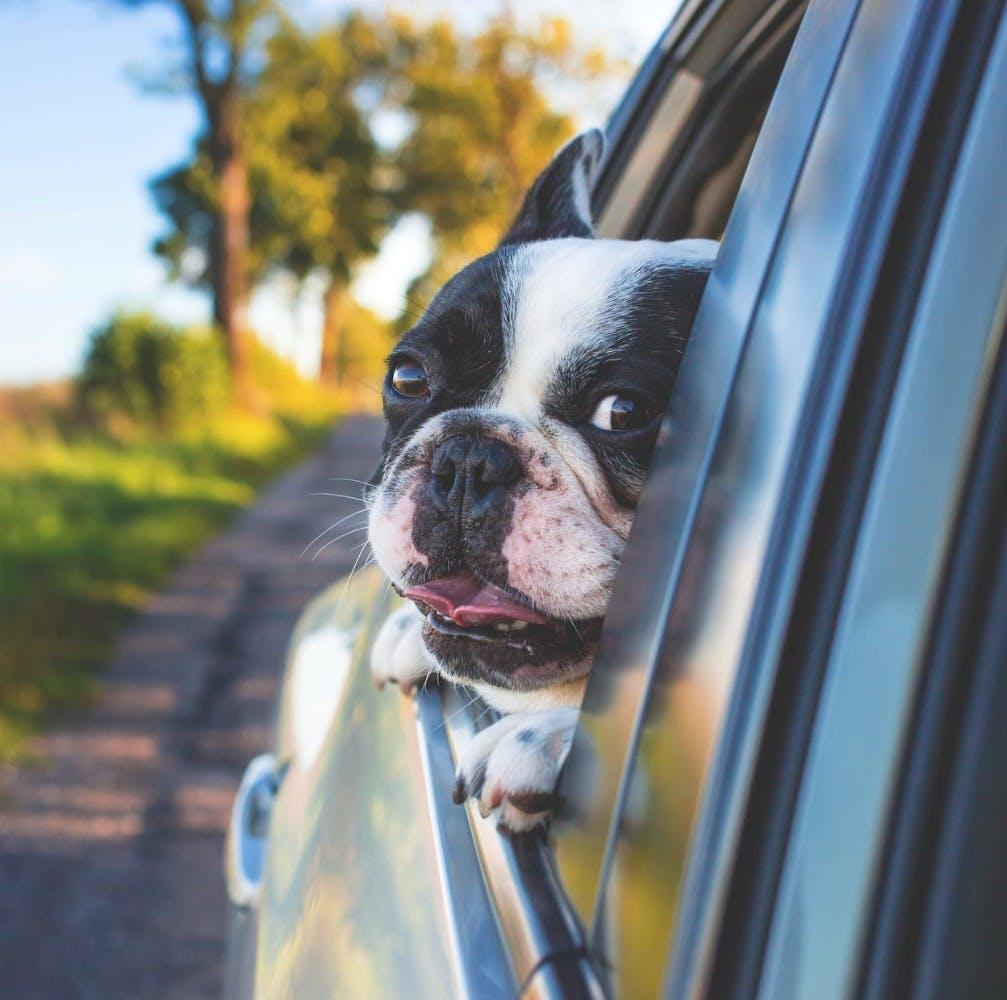 Dog,Vertebrate,Canidae,Mammal,Dog breed,Boston terrier,Snout,Companion dog,Carnivore,Eye