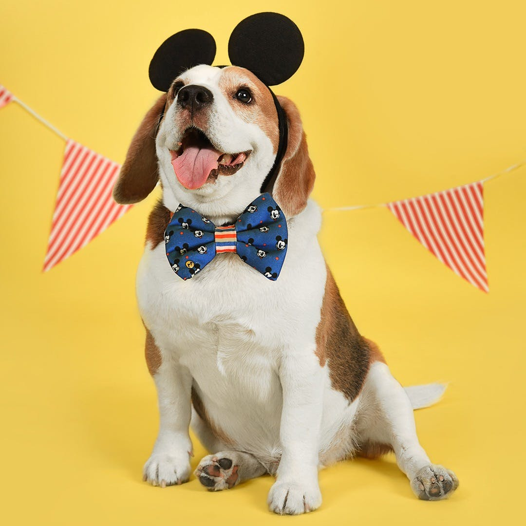 Dog,Canidae,Mammal,Dog breed,Beagle,Carnivore,Bow tie,Leash,Tie,Dog clothes