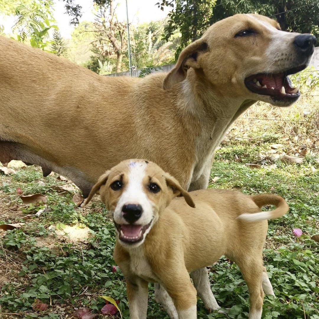 Dog,Carnivore,Dog breed,Working animal,Collar,Companion dog,Fawn,Dog collar,Snout,Sporting Group